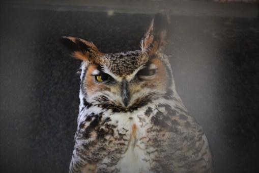 One of many unimpressed owls, Bird Park, Malta