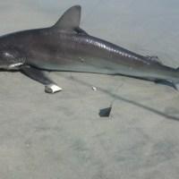 Sharks on LBI 2012