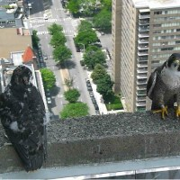 Urgent Action At The JC Falcon Cam: Thinking Outside The Box To Stay Cool