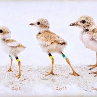 Piping Plover Growth Chart