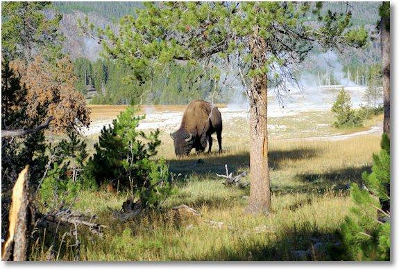 buffalo along trail to old faithful overlook