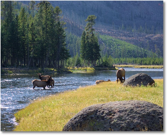 elk along the madison river, yellowstone national park, wyoming, september 15, 2007