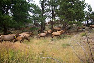 Elk on the north lateral moraine, west of campground