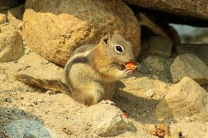 Gold mantled ground squirrel on Aluvial Fan Nature Trail