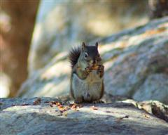 """A """"chickeree"""" -- red squirrel"""