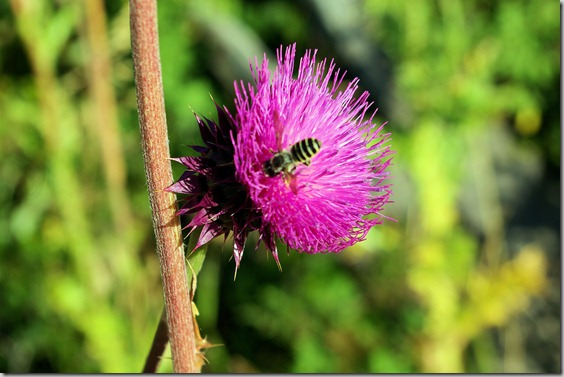 yellowjacket on purple thistle flower, along lower Fall River Road, Rocky Mountains National Park, September 2, 2009