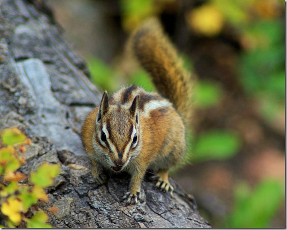 Chipmunk, Fern Falls Trail, Rocky Mountain National Park, Colorado, September 6, 2009