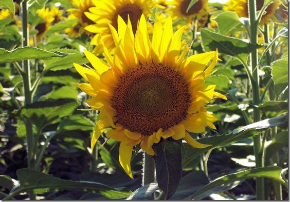 Sunflowers in field across from Frontier Park, Hays, Kansas, 8-21-2004