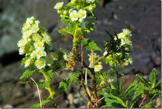 wildflowers at Craters of the Moon