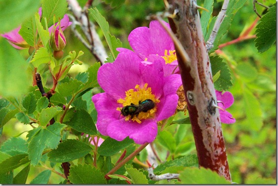 Insect getting nectar from wild rose.