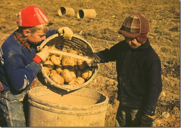 Kids gathering potatoes on a large farm, vicinity of Caribou, Aroostook County, Me.; October 1941,