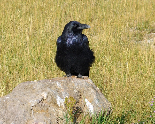 Raven, Yellowstone National Park, Wyoming, September 12, 2007