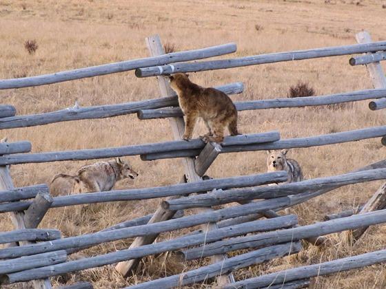 A standoff between a cougar and coyotes.
