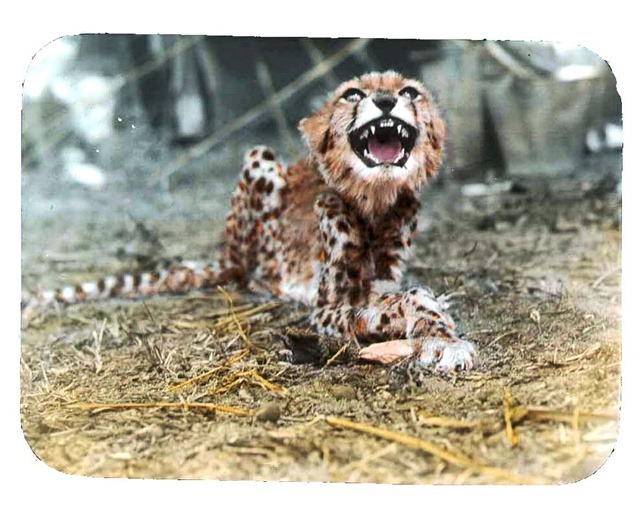 Young cheetah growling at camera, teeth bared. 1896.