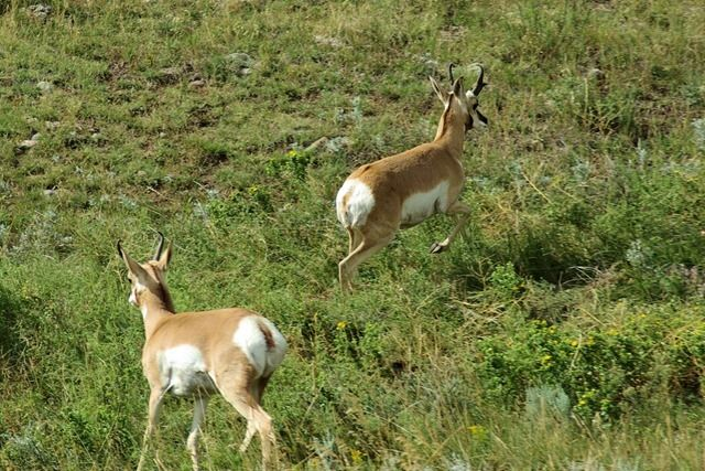 Pronghorn on the run, Custer State Park, South Dakota, August 22, 2007