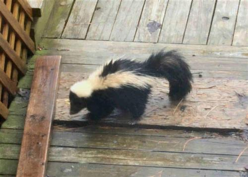 skunk in our yard