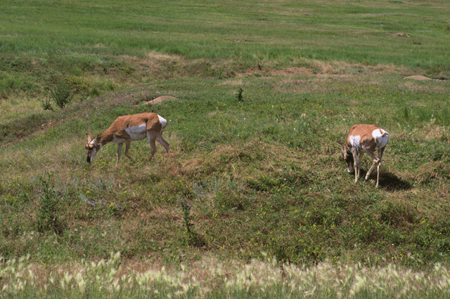 Antelope, Either Wind Cave National Park or Custer State Park, South Dakota, August 8, 2014