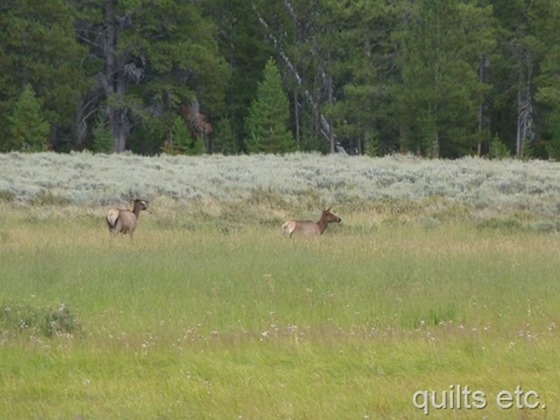 Elk, Yellowstone National Park, Wyoming, August 18, 2014