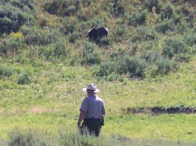 Grizzly Bear and park ranger, Hayden Valley, Yellowstone National Park, Wyoming, August 15, 2014