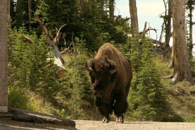 Bull buffalo (American bison), next to rest room, Chittenden Road viewpoint, Yellowstone National Park, Wyoming, August 18, 2014