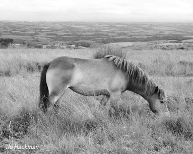 0408-jo-hackman-jo-hackman-%e2%80%8fjohackmanphotos-aug-4-black-and-white-exmoorpony