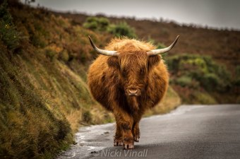 0908-nicki-vinall-beautiful-cow-on-exmoor