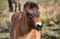 223-linda-thompson-beautiful-exmoor-foal