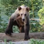 Aggresisve Bears- A common Expedition Hazard!
