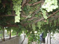 23. grapes