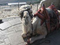 09. a camel