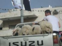 12. transportation of sheeps