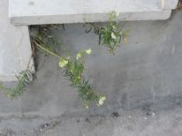18. growing out of concrete