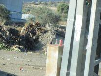 18-cut-trees-near-checkpoint-of-bethlehem