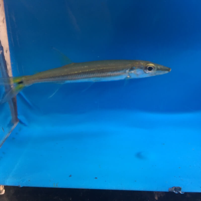 Yellow tail barracuda for sale exotic fish shop 774 for Exotic fish shop
