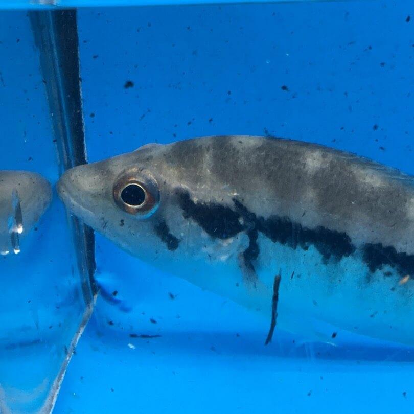 Dovii Cichlid For Sale Exotic Fish Shop 774 400 4598