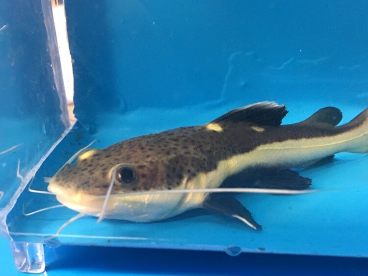 redtail catfish for sale exotic fish shop 7744004598