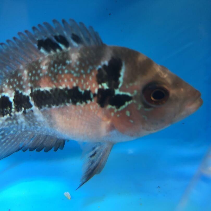 flowerhorn fish phone