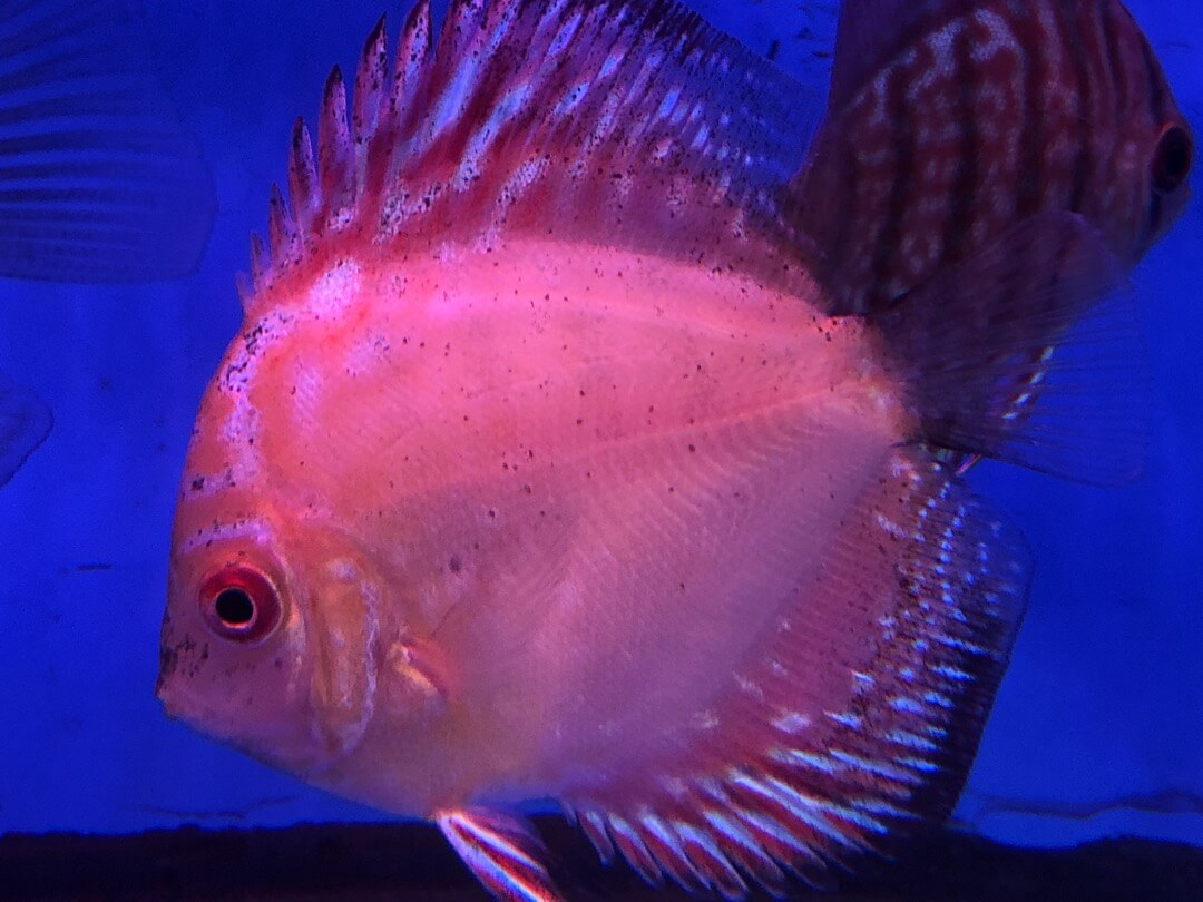 Blue turqoise discus fish for sale | Exotic Fish Shop | Call 774-400-4598