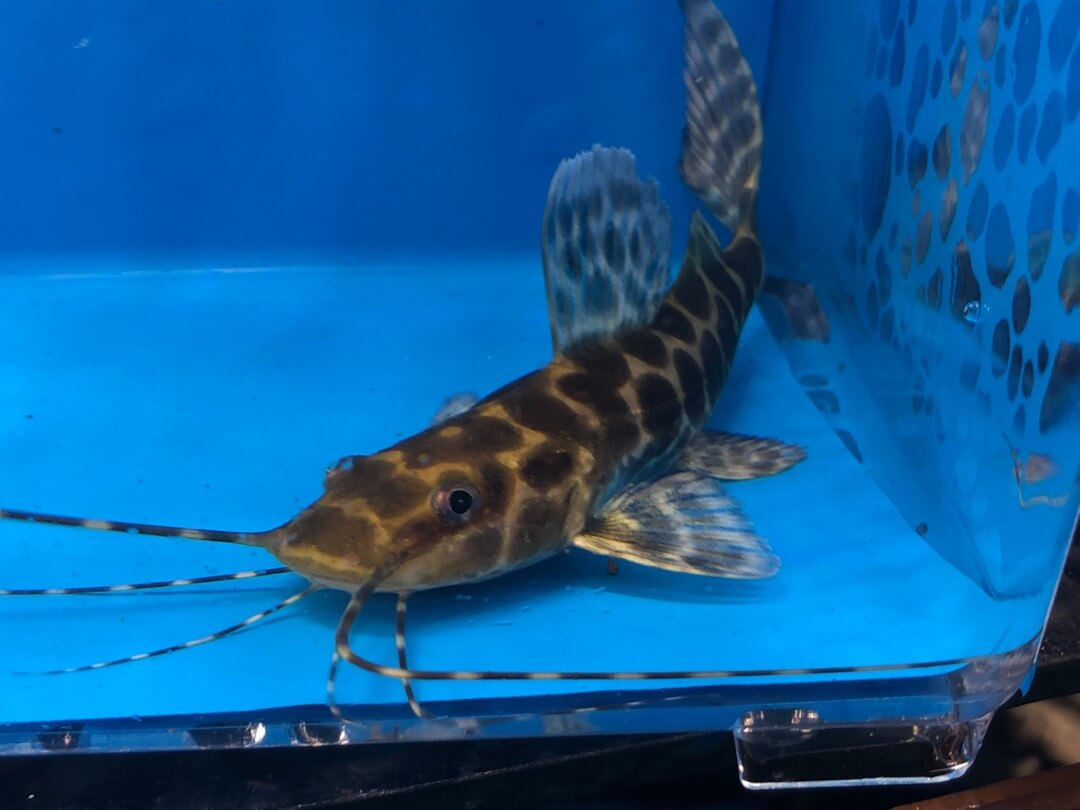 Catfish For Sale >> Marble Achara Catfish For Sale Exotic Fish Shop 774 400 4598