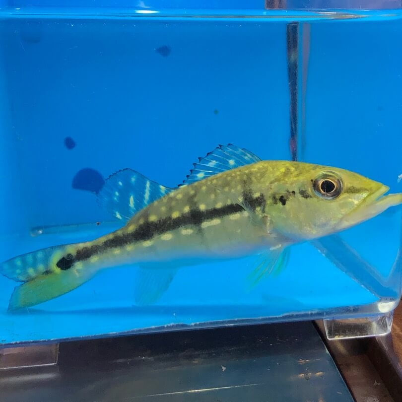 xingu peacock bass for sale exotic fish shop 774 400 4598. Black Bedroom Furniture Sets. Home Design Ideas