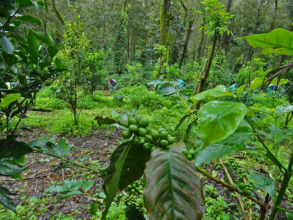 coffee plantations in Coorg
