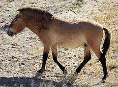 240px-equus_przewalskii_shinjang