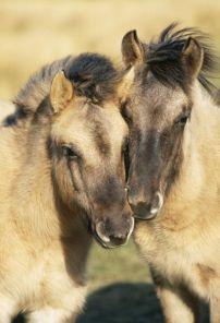 Tarpan Wild Horses