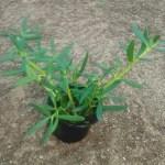 sesuvium portulacastrum exoticplantsouq.ae