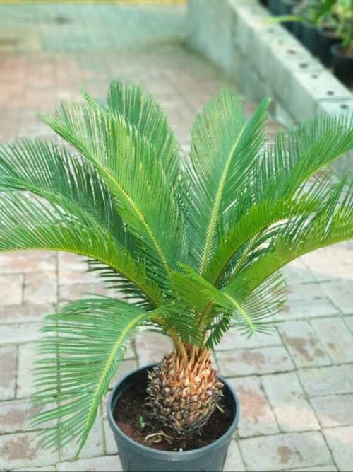 cycas revoluta Plam Plant exoticplantsouq.ae