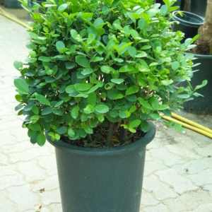 Ficus Panda Round Shaped -exoticplantsouq.ae