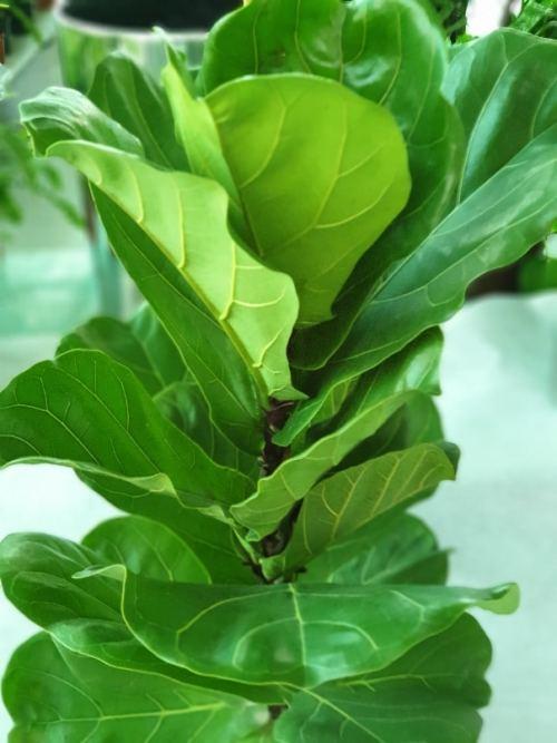 Ficus Lyrata - Fiddle Leaf Fig exoticplantsouq.ae