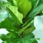 Ficus Lyrata – Fiddle Leaf Fig