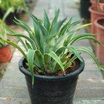Agave Attenuata Marginata or spineless century plant