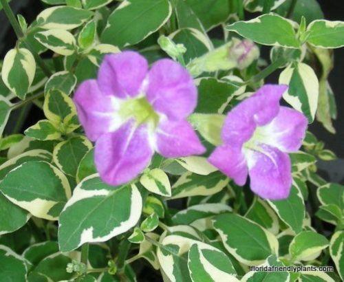 asystasia plant groundcover